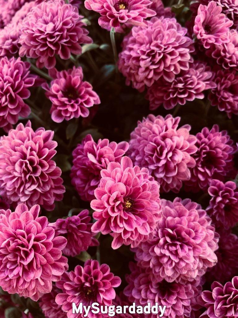 pink dahlias representing gratitude